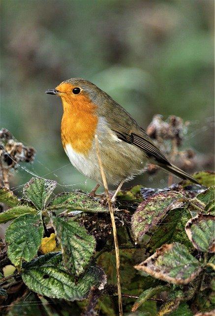 Robin Redbreast Bird Animal Robin - DavidReed / Pixabay